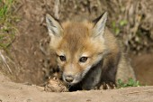 Curious fox pup investigating a toad