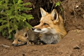 Fox mom & pup resting in the den