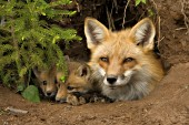 Fox mom & pups resting in the den
