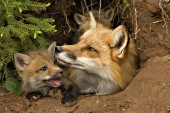 Fox mom & pup in the den