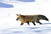 Red fox walking in deep snow