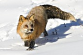 Red fox running in deep snow