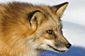 Red fox portrait (winter)