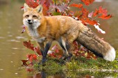 Fox and autumn leaves at the edge of a pond