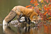 Fox on a large rock at the edge of a pond