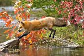 Fox jumping over water (autumn)