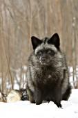 Silver fox in snow