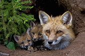 Red fox and pups at the den entrance