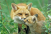 Red fox nuzzling her pup