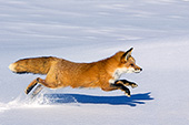 Red fox running in snow
