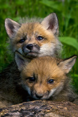 Twin fox pups playing outside their den