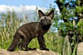 Black fox pup