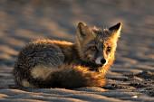 Cross fox on a beach