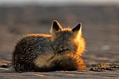 Cross fox sleeping on a beach