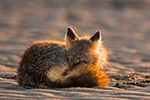 Cross fox curled up on a beach