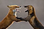 Two foxes arguing over territorial dominance
