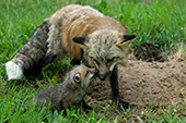 Fox pup nuzzling its mother