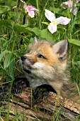 Fox pup and trilliums