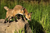 Pair of fox pups playing on a large boulder