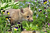 Fox pup in flowers