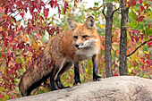 Red fox in autumn foliage