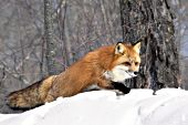 Adult fox walking in snow