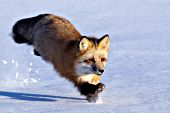 Adult fox running in snow