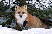 Adult fox under a pine tree in winter