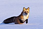 Red fox running in snow