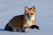 Red fox walking in snow