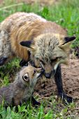 Red fox (cross phase) greeting its pup