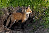 Red fox pup standing outside its den