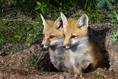 Pair of fox pups at their den