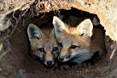 Pair of fox pups in their den