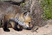 Curious fox pup sniffing a toad
