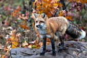 Adult fox standing on a large boulder