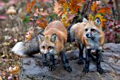 Pair of foxes standing on a large boulder