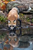 Red fox & reflection