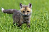 Red fox pup in a spring meadow