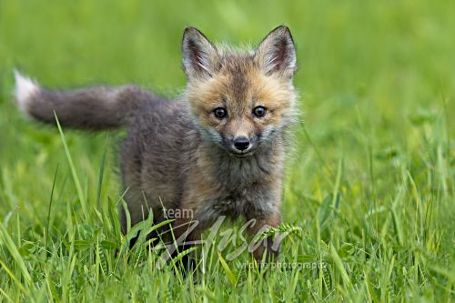 Red fox pup in a spring meadow Minnesota *