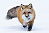 Fluffy red fox running in snow
