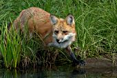 Adult fox at the edge of a pond