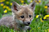 Fox pup exploring in the grass