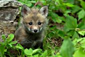 Fox pup playing in a spring forest