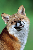 """Laughing"" red fox"