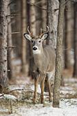 Whitetail buck in winter