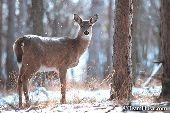 Whitetail doe in falling snow