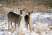 Whitetail doe and fawn in snow