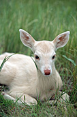Whitetail fawn (white phase)