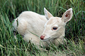 Whitetail fawn lying in grass (white phase)